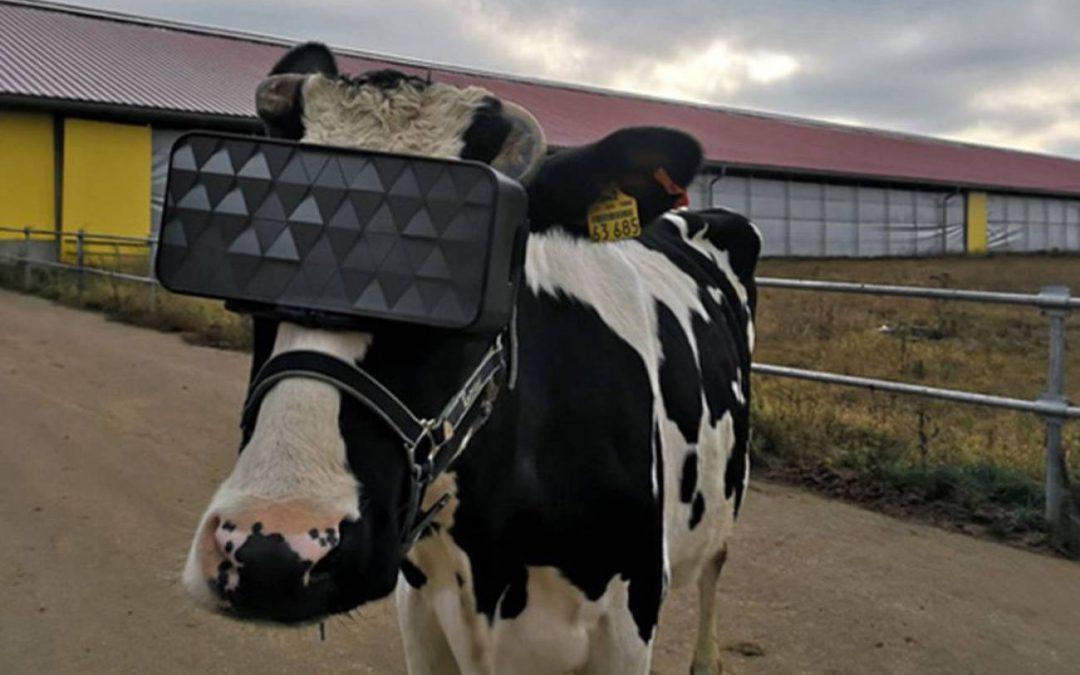 Gafas de realidad virtual para que las vacas crean que están en el campo